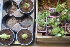 Hyacinthus i amarylek obraz stock
