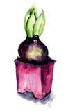 Hyacinthus kwiaty Zdjęcie Stock