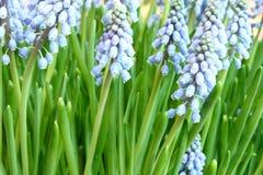 Hyacinthus orientalis Stock Images