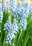 Hyacinthus orientalis Stock Photography