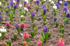 Hyacinthus Orientalis Stock Photo