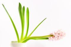 Hyacinthus orientalis 库存照片