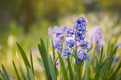 Hyacinthus orientalis in foreground Royalty Free Stock Images