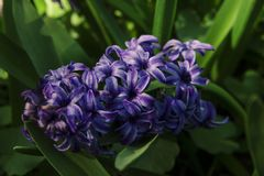 One hyacinth oriental flower violet color, close-up. Hyacinthus orientalis. One hyacinth oriental flower violet color, close-up. Nature on background Stock Image