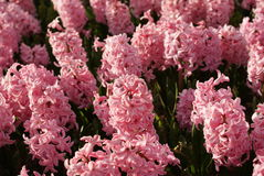 Hyacinthus orientalis. pink hyacinth flowers. spring field. Hyacinth flower garden. evening light. shining petals Royalty Free Stock Photography