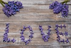 Hyacinthus pourpre de floraison Fond de fleur Le printemps… a monté des feuilles, fond naturel Photo stock