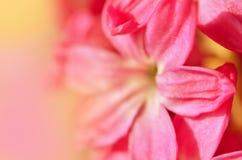 Hyacinthus rosado del primer Fondo de la flor Imagenes de archivo