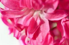 Hyacinthus rosado del primer Fondo de la flor Foto de archivo