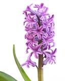 hyacinthyacinthus Arkivfoton