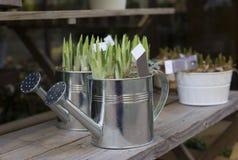 Hyacintkulor i krukorna för att plantera våren arkivbilder