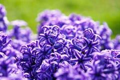 Hyacintnärbild royaltyfri fotografi