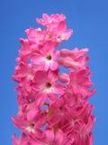 hyacintpink arkivfoton