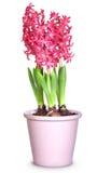 hyacintpink Fotografering för Bildbyråer
