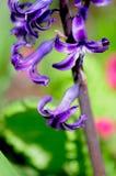 hyacintpurple Fotografering för Bildbyråer