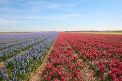 hyacints 免版税库存图片