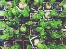 Hyacints Стоковое Фото