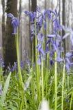 Hyacints de fleurs sauvages dans les bois belges de ressort 3 hauts étroits Images stock