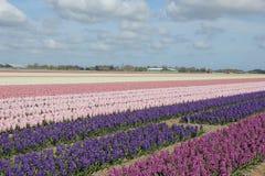 Hyacints on a field Royalty Free Stock Photography