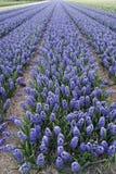 Hyacints flowers. stock image