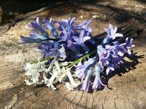 Hyacints na drewnie zdjęcie stock