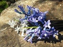 Hyacints on wood . Stock Photo