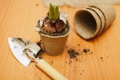 Hyacintspruit in een pot Royalty-vrije Stock Afbeelding