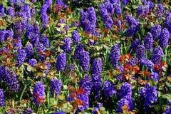 Hyacinttuin Royalty-vrije Stock Afbeeldingen