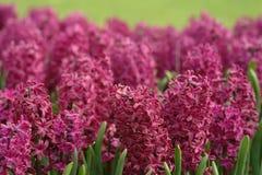 hyacintviolet Arkivbilder
