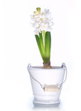 hyacintwhite Royaltyfri Fotografi