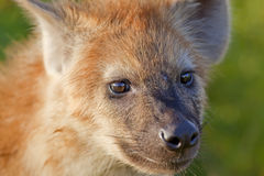 Hyaena Royalty Free Stock Photography