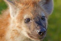 hyaena Fotografia Royalty Free