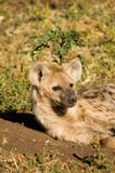 Hyaena Stock Photo