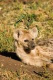 hyaena Zdjęcie Stock
