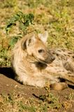 Hyaena Royalty Free Stock Photo