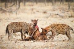 hyaena royaltyfri foto