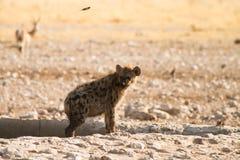 Hyaena Stock Images