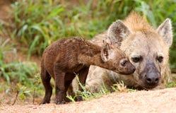 Hyaena africano selvaggio Fotografie Stock Libere da Diritti