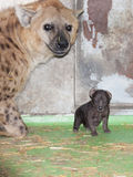Hyaena baby Royalty Free Stock Photography