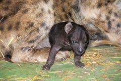 Hyaena baby Stock Image