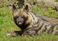 Hyaena brunnea Royalty Free Stock Photography