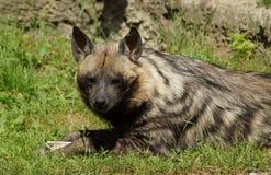 Hyaena brunnea Stock Photography