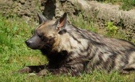 Hyaena brunnea Royalty Free Stock Images