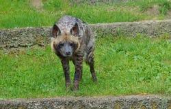 Hyaena brunnea Stock Photos