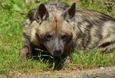 Hyaena brunnea Royalty Free Stock Image