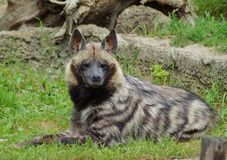 Hyaena brunnea Royalty Free Stock Images