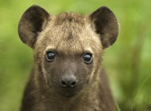 Hyaena Cub. Portrait fron South Africa Royalty Free Stock Photo