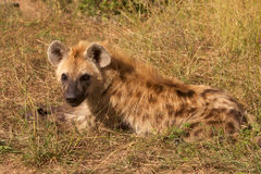 hyaena dostrzegający Zdjęcia Royalty Free