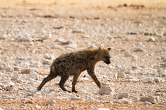 hyaena dostrzegający Fotografia Royalty Free