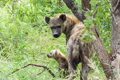 Hyaena with his offspring being very alert. Encountered this Hyaena while visiting the famous Kruger National Park in South Africa royalty free stock photos