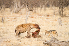 Hyaena and Jackal eating Royalty Free Stock Photo